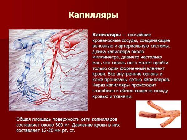 Капилляры-тоньчайшие кровеносные сосуды человека