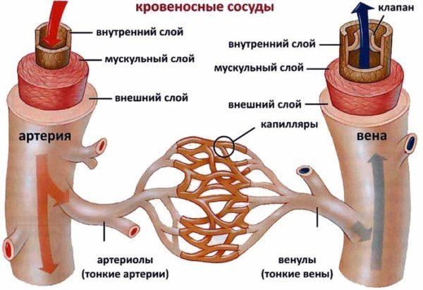 Строение стенки артерии и вены.