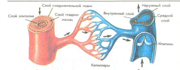 Артерия и вена