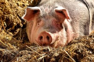 Скороговорка про свинью