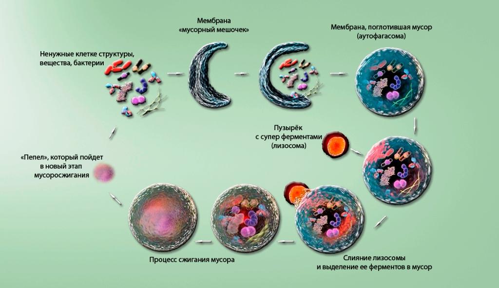 Аутофагия в клетке