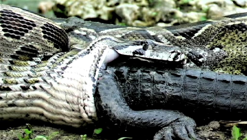 Анаконда съедает крокодила