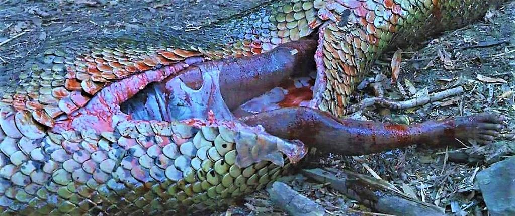 Анаконда съела человека. Кадр из фильма.